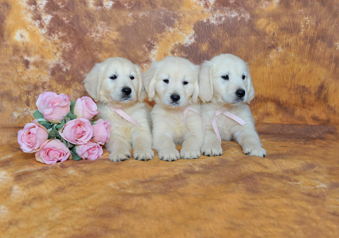 Chiot golden retriever 33